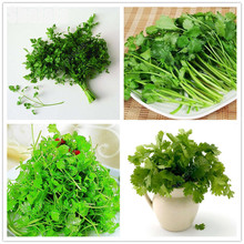 20pcs Caraway Seed New Bonsai Plants Promotion Potted Bonsai Balcony Healthy Chinese Fruit Vegetable Seeds(China)