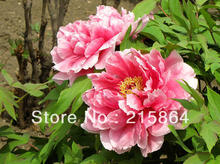 100 Seeds China's Beautiful Pink Peony Flower HOT PEONY / P5-100