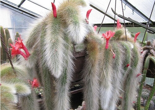Cactus (Hildewintera colademononis) plant succulents seeds DIY home garden - 100 pcs / lot(China (Mainland))