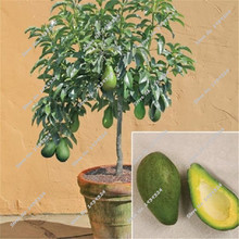 10pcs New Rare Green Avocado Seed Very Delicious Pear Fruit Seeds Very Easy Grow organic Fruit For Home Garden Free Shipping