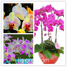 20 Types Perennial Phalaenopsis Orchid Flower Seeds, 50 Seeds / Pack, Rare Butterfly Orchid Seeds,#RGI4EB