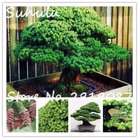 20pcs-bag-Japanese-White-Spruce-Pine-Bonsai-Tree-seeds-Pinus-parviflora-Bonsai-Evergreen-DIY-Home-gardening.jpg_200x200