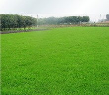 500 special grass seeds , Lawn Seed, + secret gifts, evergreen perennial ( 500g can LOW PRICE wholesale )(China)