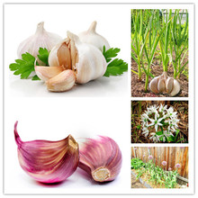 Hot Sale 100Pcs Garlic Seeds Pure Natural And Organic Vegetable Seeds Healthy And Delicious Pungent Spice Vegetable Seeds