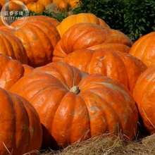 Rare Giant Pumpkin Seeds, professional pack, 5 Seeds, heirloom ornamental vegetable TS302T