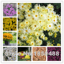 3.29 Big Promotion! 200 chrysanthemum seeds, home garden ornamental flower seeds, 8 colors, beautiful chrysanthemum seeds free s(China)