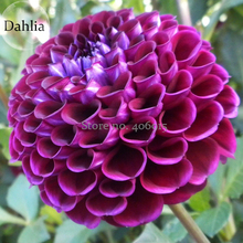 Rare Beautiful Alveolate Purple Dahlia Flower,  50 Seeds, attractive butterfly light up your garden E3654