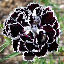 Rare White Black Chinese Dianthus Flower Seeds, Professional Pack, 50 Seeds / Pack, Chinese Pink Garden Flower E3250