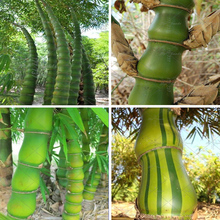 40pcs / bag Buddha Belly Bamboo Rare Perennial Ornamental Plant DIY Garden Decorative Plant Potted Plant