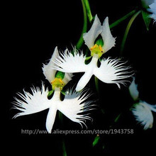 50pcs Japanese Radiata Seeds White Egret Orchid Seeds World's Rare Orchid Species White Flowers Orchidee Garden & Home Planting
