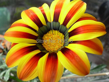 Flower seeds Gazania rigens, potted flowers gazania seeds, sunflowers Africa,about 20 seeds particles