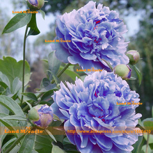 Fresh Tree Peony Seeds, 1 Professional Pack, 5 Seeds/Pack, Bonsai Peony Flower(Blue,pink) Garden Plant(China)