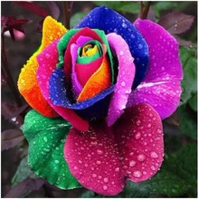 Mystic Rainbow Rose Bush Flower Seeds 100 Stra tis fied Seeds Free Shipping bonsai home garden