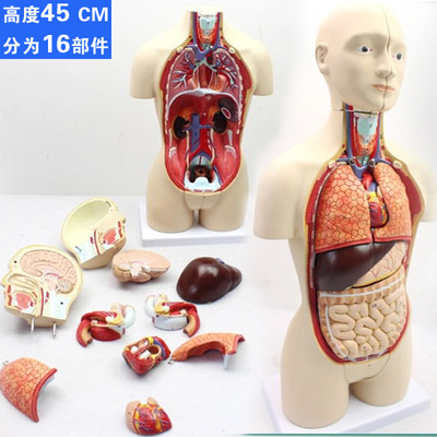45cm 16 parts detachable medical internal organs heart system 45cm 16 parts detachable medical internal organs heart system structure human torso anatomy model in medical science from office school supplies on ccuart Gallery