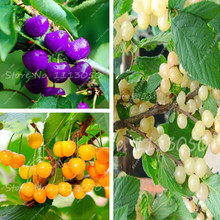 Hot Sell 20 Pcs Rare Red Purple Pink Black Cherry Seeds Fruit Seeds Imported China Garden Dwarf Fruit Trees Seed Free Shipping
