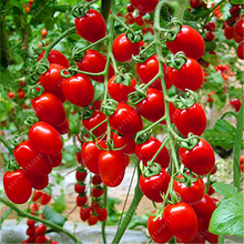Milk red tomato seeds, cherry tomato seeds organic fruit and vegetable seeds ourdoor plant for home garden 200 pcs/bag(China)