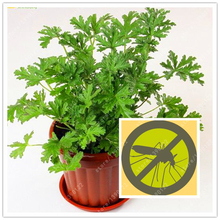 100 pcs/bag mosquito repellent seeds, Buster vanilla seeds health flower seeds exotic plant pot bonsai herb seeds Home & Garden