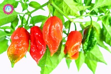 YHNOO 200pcs Ghost World's Most Chili Pepper Seeds Indian(China)