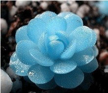 20 seeds/pack mini succulents seed Tetragonia blue stone flower seeds Lithops Pseudotruncatella seed(China)