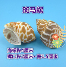 05 Decoration Crafts Natural conch shells hermit crab shell fish roll shell special aquarium decorations.4CM