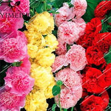 Double flowers Hollyhock Seeds-Alcea Rosea pink,rose,red,yellow Perennial bonsai flower seeds for Home garden plant 50seeds/bag(China)