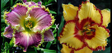 Hybrid Mix Daylily Flowers Seed, Rare Unique Hybrid Hemerocallis Seeds - Day Lily Seed Packet