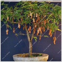 20pcs-bag-Tamarind-Seeds-potted-Tree-Seeds-High-survival-Rate-bonsai-plant-Seeds-For-Home-Garden.jpg_200x200