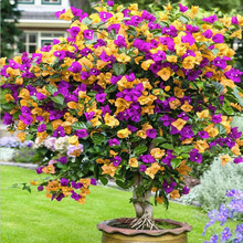 Free Shipping 50 Particle/Bag Mix Color Bougainvillea Balcony Pot, Yard Flower Plant Immensely Showy, Floriferous Hardy Plant(China)