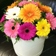 100 Pcs Gerbera Seed Indoor Bonsai Plant Flower Seeds Family Perennial Garden Chrysanthemum Easy To Grow Mixed Colors(China)