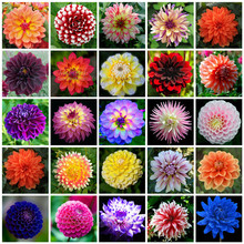 50 Seeds / Color Gorgeous Dahlia Flower Seeds,colors to choose, Beautiful Garden Bonsai Flower