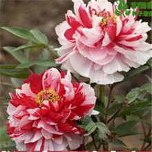 5PCS Bonsai peony Seeds 30pcs multi-Colored Flower Seeds Novel Plant for DIY Garden Free Shipping