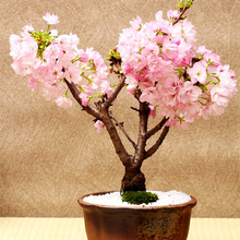 10 Pcs Rare Pink Japanese Sakura Seeds indoor Cherry Blossom Bonsai Flower Sakura Tree DIY seeds of perennial garden flowers(China)