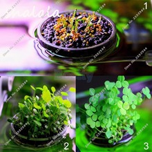 100 Clover Seeds Lucky Grass Aquarium Fish Tank Live Plant Pot Bowl Round Leaf Seeds Fragrant Lawn Groundcover home garden plant