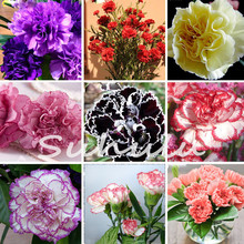 Hot Selling 16 Colors Available Carnation Seeds Perennial flowers Potted Garden Plants Dianthus Caryophyllus Flower Seed-10 Pcs