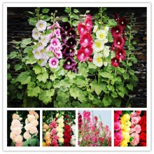 20 pieces of sunflower seeds mixed garden decoration bonsai flower seeds, rose seeds, mulberry leaves flower, hollyhock.(China)