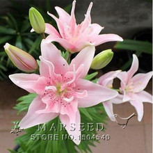 20 perfume Lily Seeds flower Germination 99% Cheap Flower seed creepers bonsai garden supplies pots planters home nursery