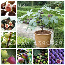 Bonsai Tiger Stripe Fig Tree Seeds 50 PCS Courtyard Ornamental Plant Evergreen Natural Growth DIY Home Garden Planting