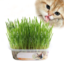 Big promotion, 1000 Sweet Oats for Cats, Cat Grass Seeds,Quick & Easy growing, DIY Cats Natural Food