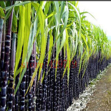 2016 On Sale ! 100 / bag Vietnam sugar cane seed succulent fruit tree seeds herb plant for home garden vegatable medicinal Seeds(China)