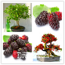 Sale!10 Seed/Bag mulb erry bags Mulberry fruit seeds DIY home bonsai Morus Nigra Tree, black mulberry seeds plants,#8Z57VM(China)