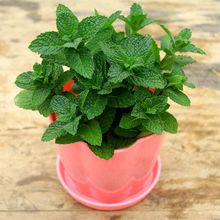 400 Lemon Mint Seeds Tea Food Bonsai Potted Herb Plants Garden Seasons Seeds Edible