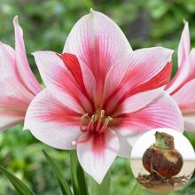 Buy 2 Pcs/ Bag True Pink Hippeastrum Rutilum Bulbs Bonsai Flower Plant Seeds Potted Bonsai Rare Flower Seeds Garden. (Not Seeds ) for $1.26 in AliExpress store