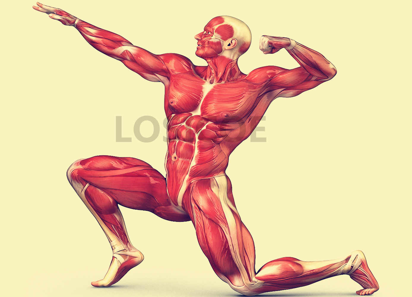 Detail Feedback Questions About Bodybuilding Posture Human Muscle
