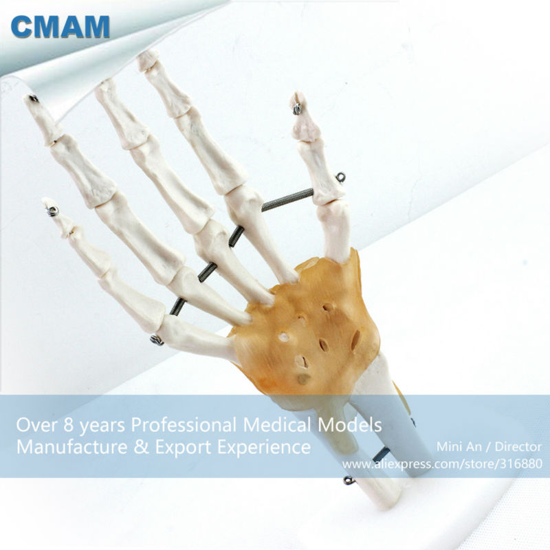 12350 CMAM-JOINT04 Life-Size Hand Joint with Ligaments Human Anatomical Models,Education Models<br>