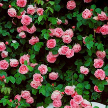 1 Professional Pack, 300 Seeds / Pack, Rare Pink Climbing Rose Seeds, Very Beautiful Ornamental Climbing Flowers #A00095