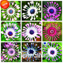 Hot Sale!5 Color Available Osteospermum Seeds Potted Flowering Plants Blue Daisy Flower Seeds,50 Seed/Lot,#VO9DP8