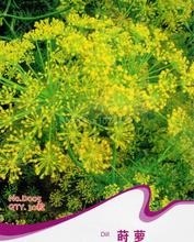 Dill Seeds Anethum Graveolens Cumin Aromatic Herb Plants D005