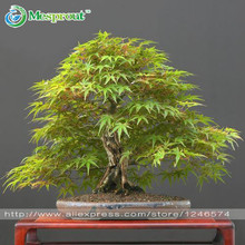 50PCS Japanese bonsai maple tree Seeds mini bonsai tree for indoor plant can put on office desk free shipping