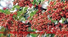 20seeds/bag  100% authentic Chinese prickly ash pepper outdoor garden Chinese prickly ash tree seeds prickly plants
