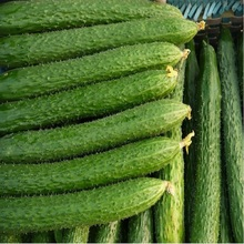 Branch cucumber seeds , hybrid - high temperature resistance, high resistance to disease -100seeds(China)